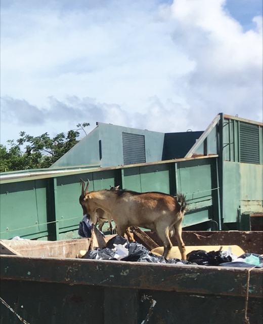 A goat dines on trash in in front of the broken compactor at the Susannaberg Transfer Station.