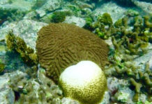 A bleached coral next to a healthy one in Hurricane Hole. (Photo by Caroline Rogers)
