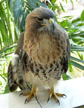 Hawk keeps artists company