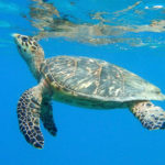 A Hawksbill turtle surfaces. (Photo by Caroline Rogers)