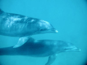 An adult and juvenile Atlantic Bottlenose Dolphin in Brewers Bay, St. Thomas. (Submitted photo)
