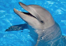 File photo shows an Atantic bottlenose dolphin. Four of these marine mammals, born in captivity, arrived Wednesday at Coral World on St. Thomas. (File photo)