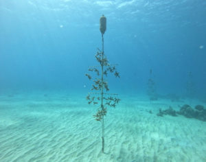 A traditional coral tree grows staghorn coral in the Cane Bay nursery. (Photo provided by Dr. Ashlee Lillis)