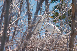 White egrets nest amid mangrove branches in the St. Thomas East End Reserve. (April Knight photo)