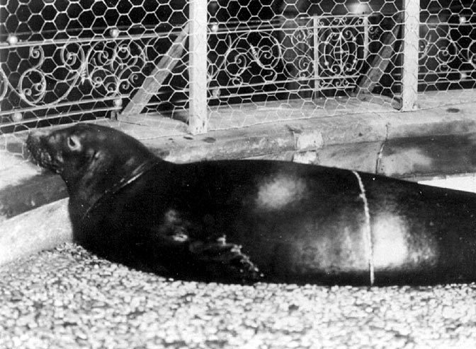 Commentary: Whatever Happened to the Caribbean Monk Seal, Last Seen in the 1950s?