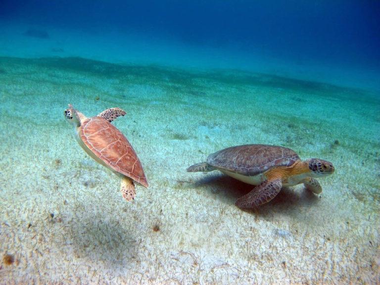 Park Service Seeking a Buck Island Sea Turtle Research Intern