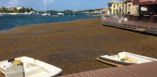 Sargassum piles up in Christiansted harbor Aug. 16 – and the problem on St. Croix is not considered as bad as it is on the beaches of St. Thomas. Source photo by Susan Ellis)