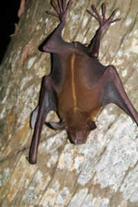 The Greater Bulldog Bat (Photo submitted by Renata Platenberg)