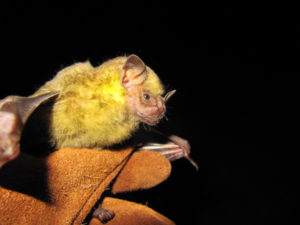 The Jamaican Fruit-eating bat. (Photo submitted by Renata Platenberg)