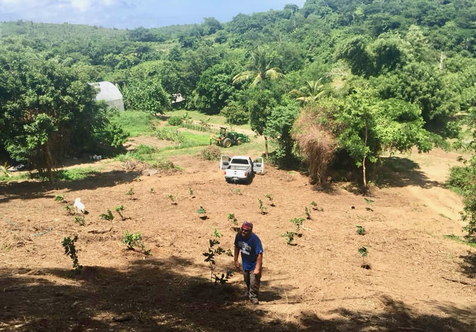 A of breadfruit and orange trees were planted on Ridge to Reef Farm in October as part of an experiment by UVI Agricultural Extension. (Photo provided by Nate Olive, Ridge to Reef Farm)