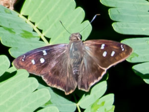 The Hammock Skipper butterfly. (Photo by Gail Karlsson)