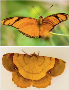 Julia, or Flambeau, butterfly, top, and the Erastria decrepitaria moth. Note the difference in the antenna. (Photos by Gail Karlsson)
