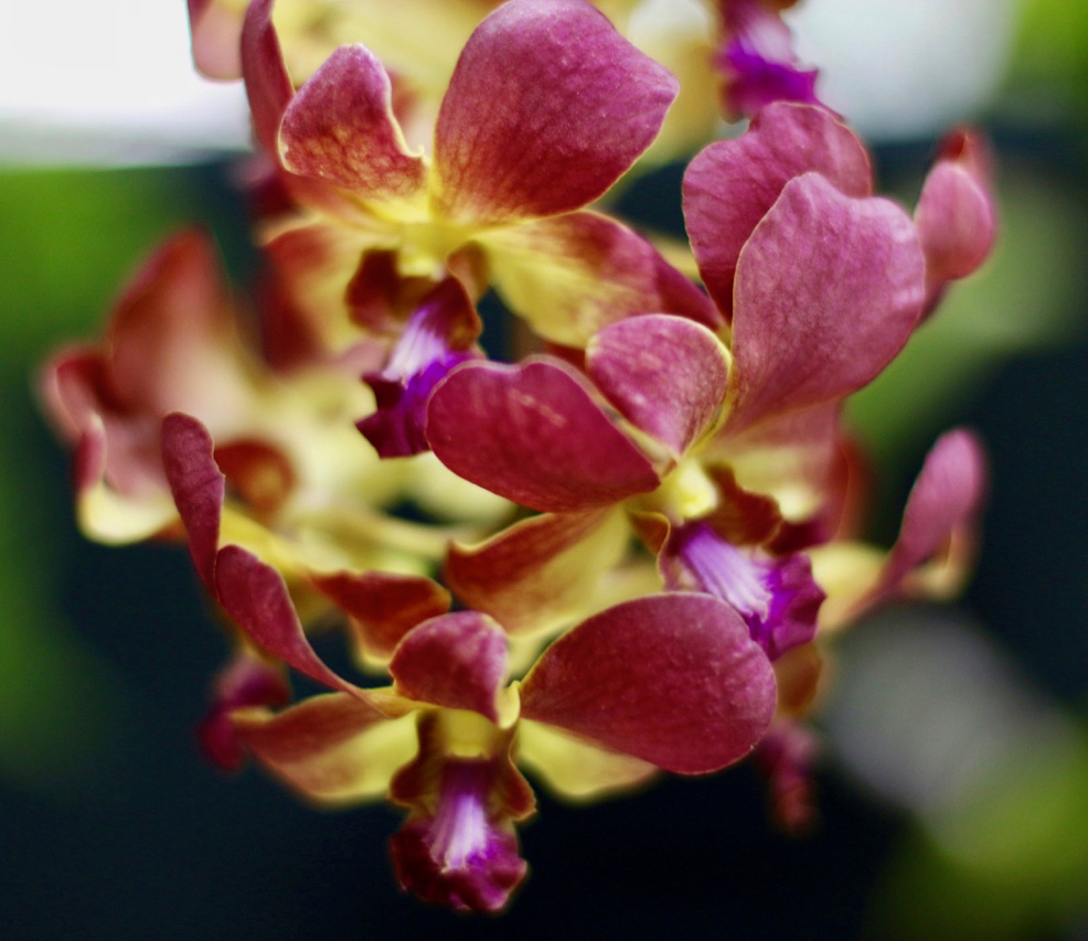 "Close up of Gertrude Gumb's AOS prize winning Dendrobium Sampran Brown ""Gertrude."" (Source photo by Linda Morland)"