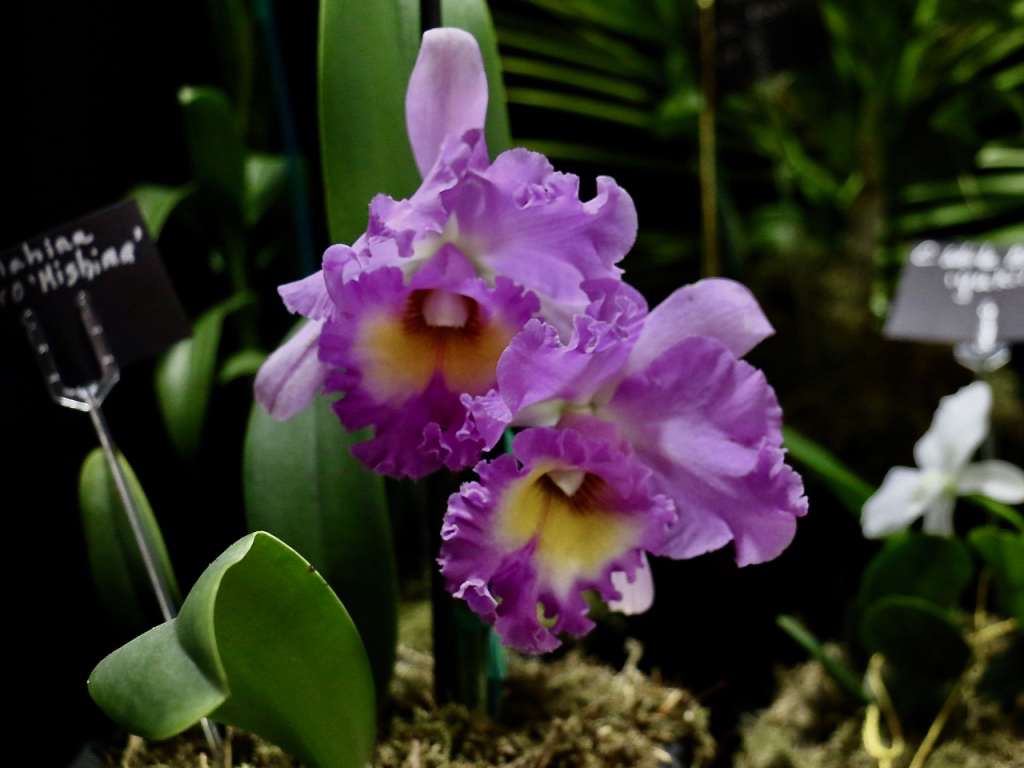 """Fragrant lavender and purple Cattleya orchids are often thought of as """"corsage orchids"""". Much loved for their appearance, many ladies treasure memories of wearing these lovely flowers. (Source photo by Linda Morland)"""