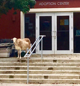 A goat stands at the top step of the Human Society's entrance.