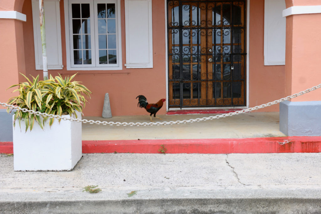 A lone rooster strolls in front of the King Christian Hotel on the waterfront. (Source photo by Linda Morland)