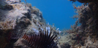 A lionfish scavenges a reef off Secret Harbor, St. Thomas. (Source photo by Dave MacVean)