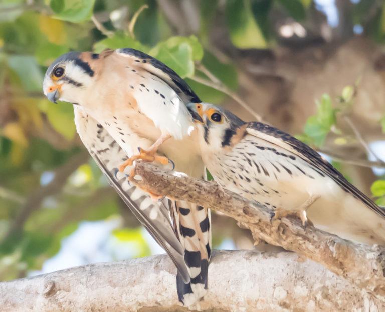 Busy Mating Season for Island Kestrels