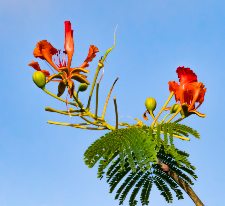 Did You Know Flamboyant Trees Are Originally From Madagascar?