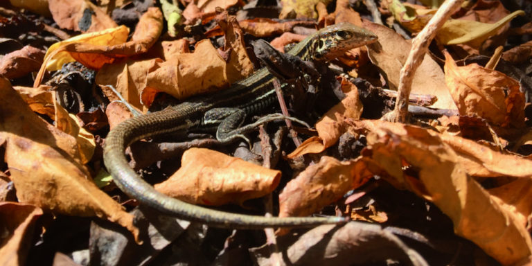 Cooperative Project Hopes to Preserve the St. Croix Ground Lizard