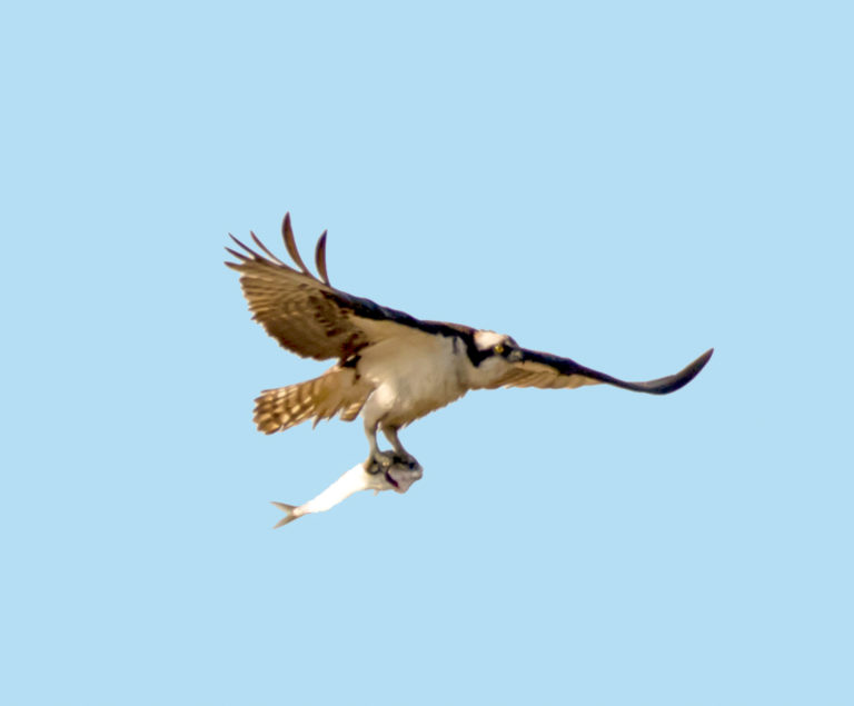 Watch Out for Ospreys Arriving in the Virgin Islands