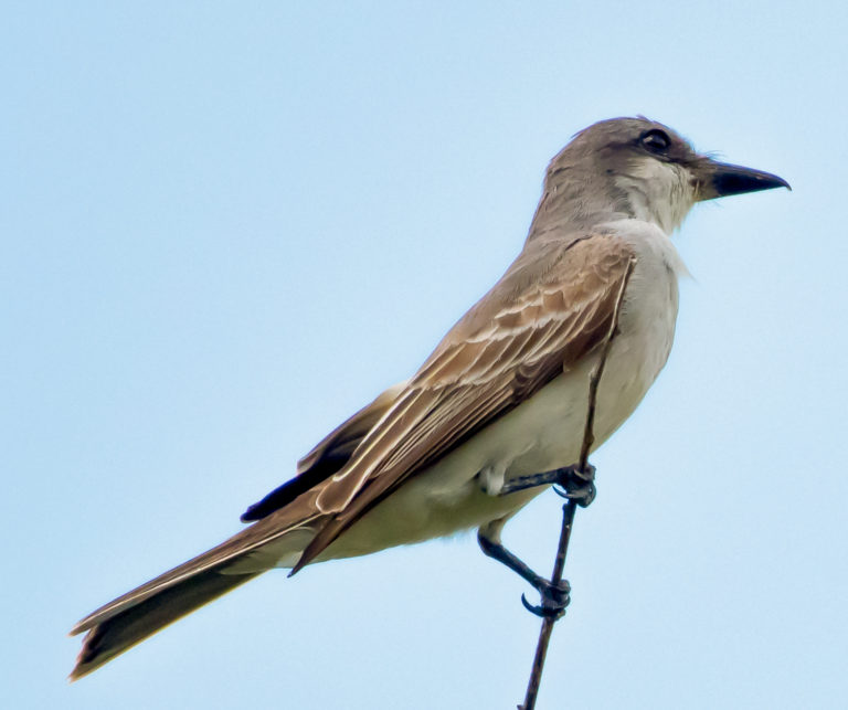 Gray Kingbirds Emerge as Leaders in the Annual St. John Bird Count