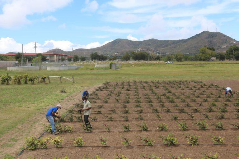 UVI Unveils Two New Varieties of Sorrel