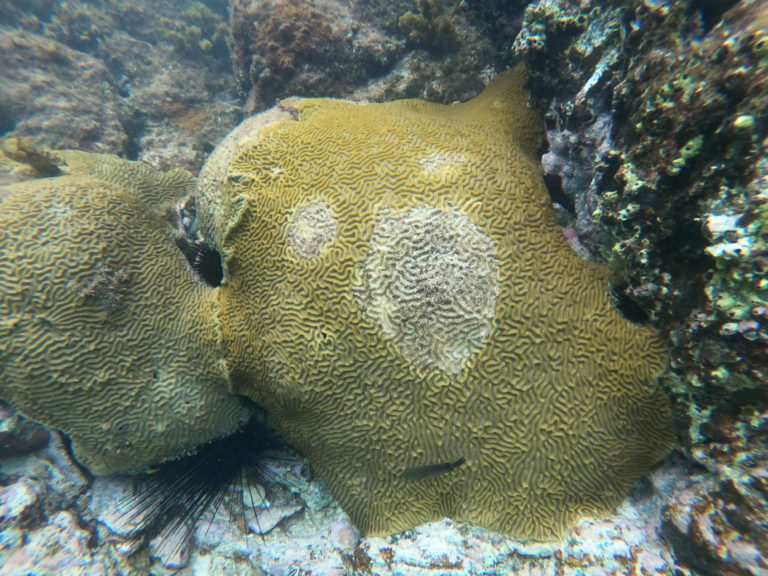 Researchers and Volunteers Fight Lethal Coral Disease, Part I